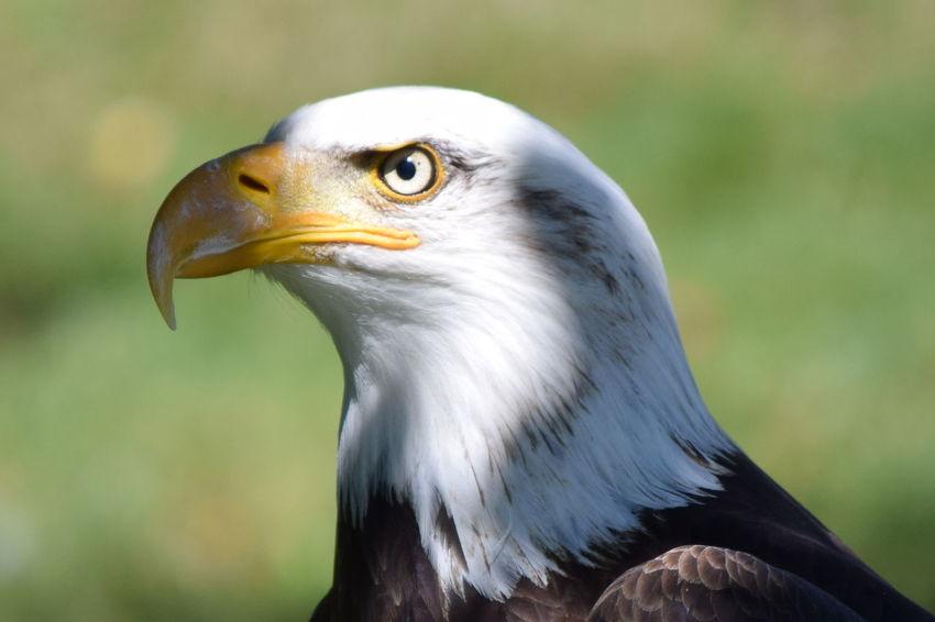 AIG Aigle Pêcheur Animal Body Part Animal Eye Animal Head  Animal Themes Bird Hawk No People Rapace