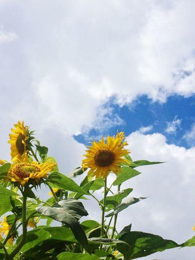 Sunflower 🌻 Plant Cloud - Sky Flower Flowering Plant Sky Beauty In Nature Freshness