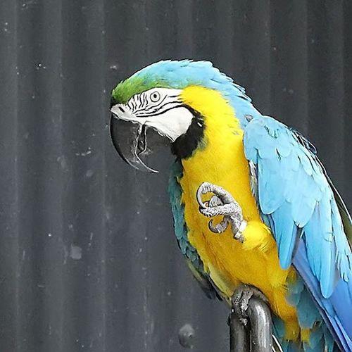 Hi... nice to meet you. Tweettt... Parrotlover Parrot Parrotofinstagram Birds Birdofinstagram Hi Nice Cool Photooftheday