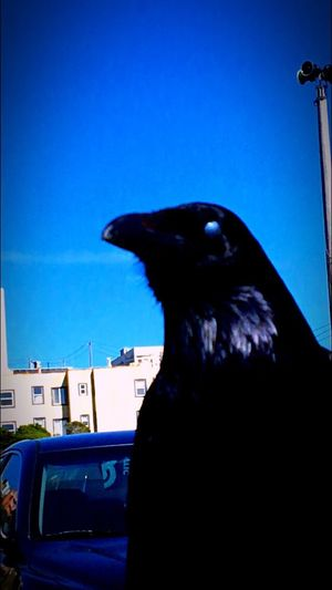 The Raven Magical Mysterious