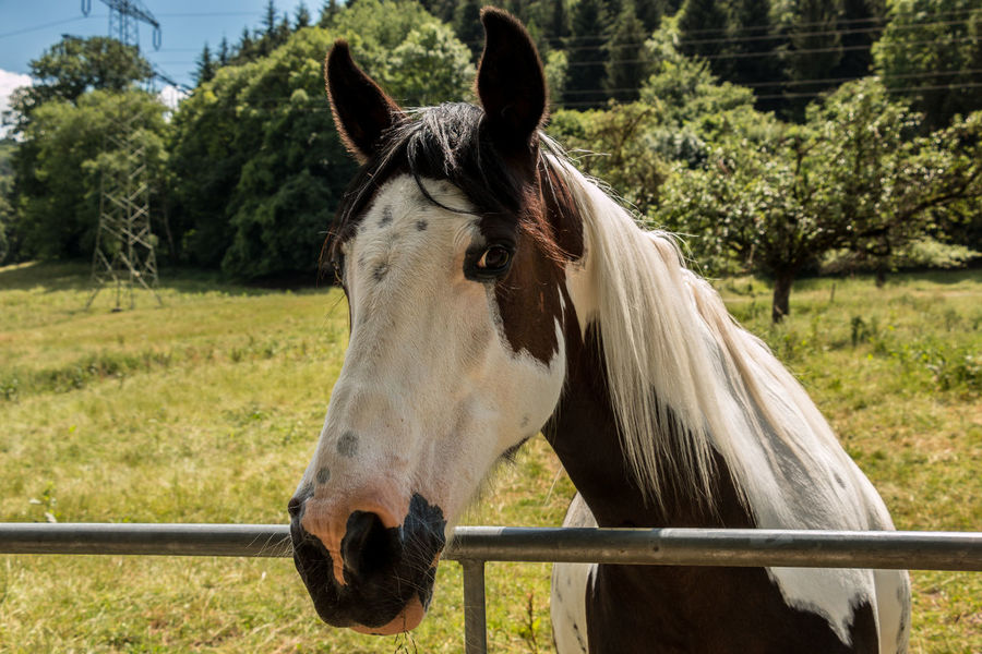 Horses on the green meadow Animal Animal Body Part Animal Head  Animal Pen Animal Themes Animal Wildlife Day Domestic Domestic Animals Field Herbivorous Horse Land Livestock Mammal Nature No People One Animal Outdoors Pets Plant Ranch Tree Vertebrate Working Animal