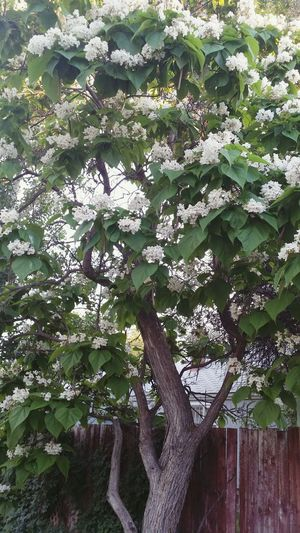 Backyard Blooming Tree White Blossoms Large Leaves