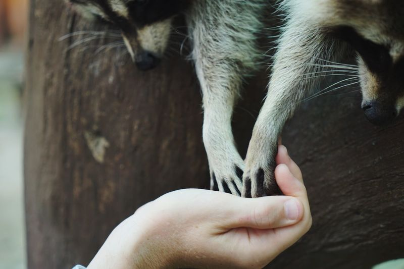 Close-up of hand holding food for racoons