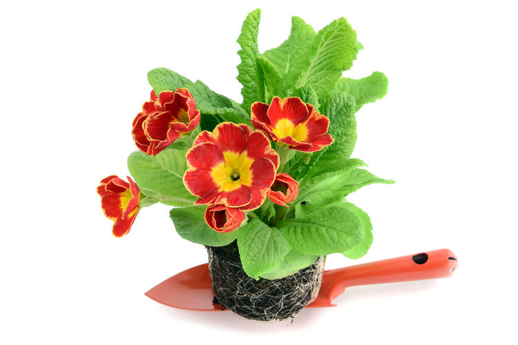 red ed primrose on a small garden shovel. ready to be potted. isolated on white background Garden Centre Shopping ♡ Isolated Gardening Isolated White Background Primrose Primeln Primula Red Red Flower Shovel Garden Tools
