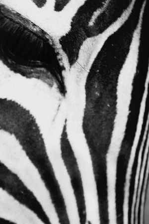 Monochrome Photography One Animal Animal Themes Close-up Zoology Animal Extreme Close Up Nature Animal Head  Zebra♥ Zebra