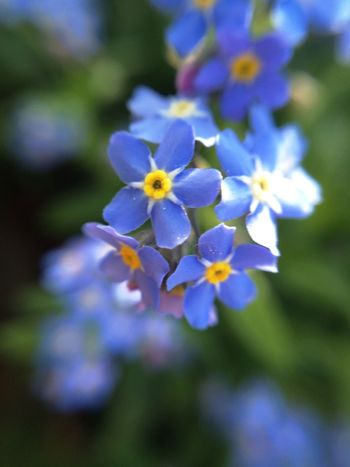 Forget Me Not Flower Nature Spring