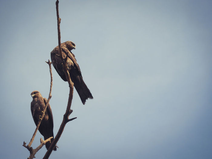 Bird Prey Kite Indian Branch Sitting Perched Black Kite Outdoors Tree Raptor Predator Hunter Two Animals Bare Tree Trapped Perching Full Length Close-up Sky Bird Of Prey Confined Space Eagle