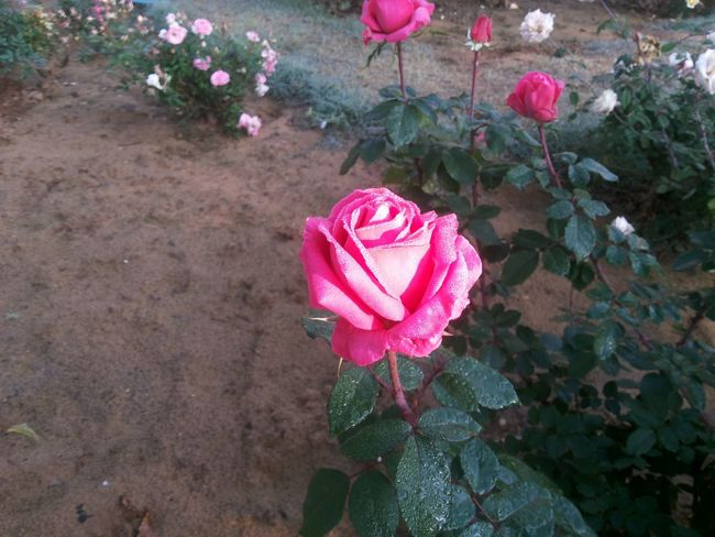 Flower Pink Color Plant Nature Outdoors Leaf Freshness Beauty In Nature Roses🌹 Fragility Rose Tree