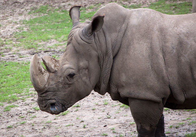 Wildlands  Wildlands Emmen Zoo Animal Animal Body Part Animal Head  Animal Themes Day Field Horned Land Mammal Nature No People One Animal Outdoors Rhino Rhinoceros Side View Standing Wildlandsadventurezoo