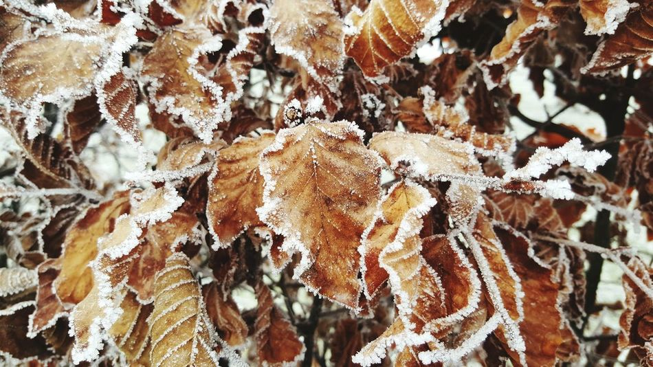 Frozen leaves Leaves 🍁 Winter Frozen Nature Seasonal Photography No People Close-up Fragility Beauty In Nature
