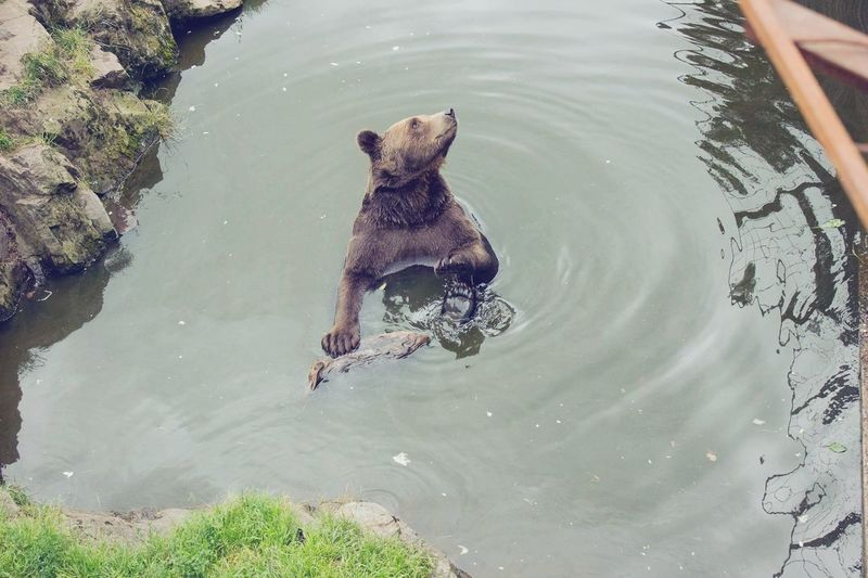 Hello bear! 🐻 Zoo Kolmården Beauty In Nature Water Bear Swimming Lake playing with its feet