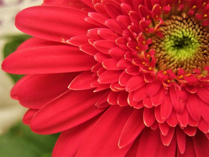 Close-up of red dahlia blooming outdoors