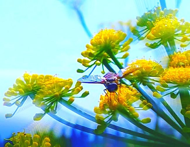 Sky Bee Nature Photography Nature_collection Nature Buzzing Buzzin' Downtown Back Drop Zoomeffect Zoom Effect Queen Anne's Lace Yellow Yellow Flower Yellow Color Zoomblur Zoomburst Zoom Blur Zoom Burst Flower Head Flower Leaf Close-up Plant