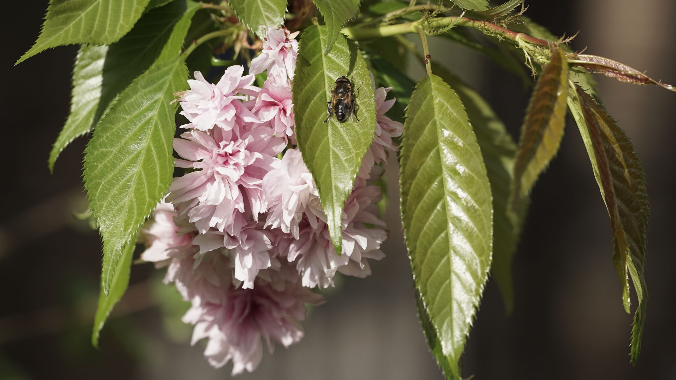 CLOSE-UP OF INSECT ON PINK FLOWERS