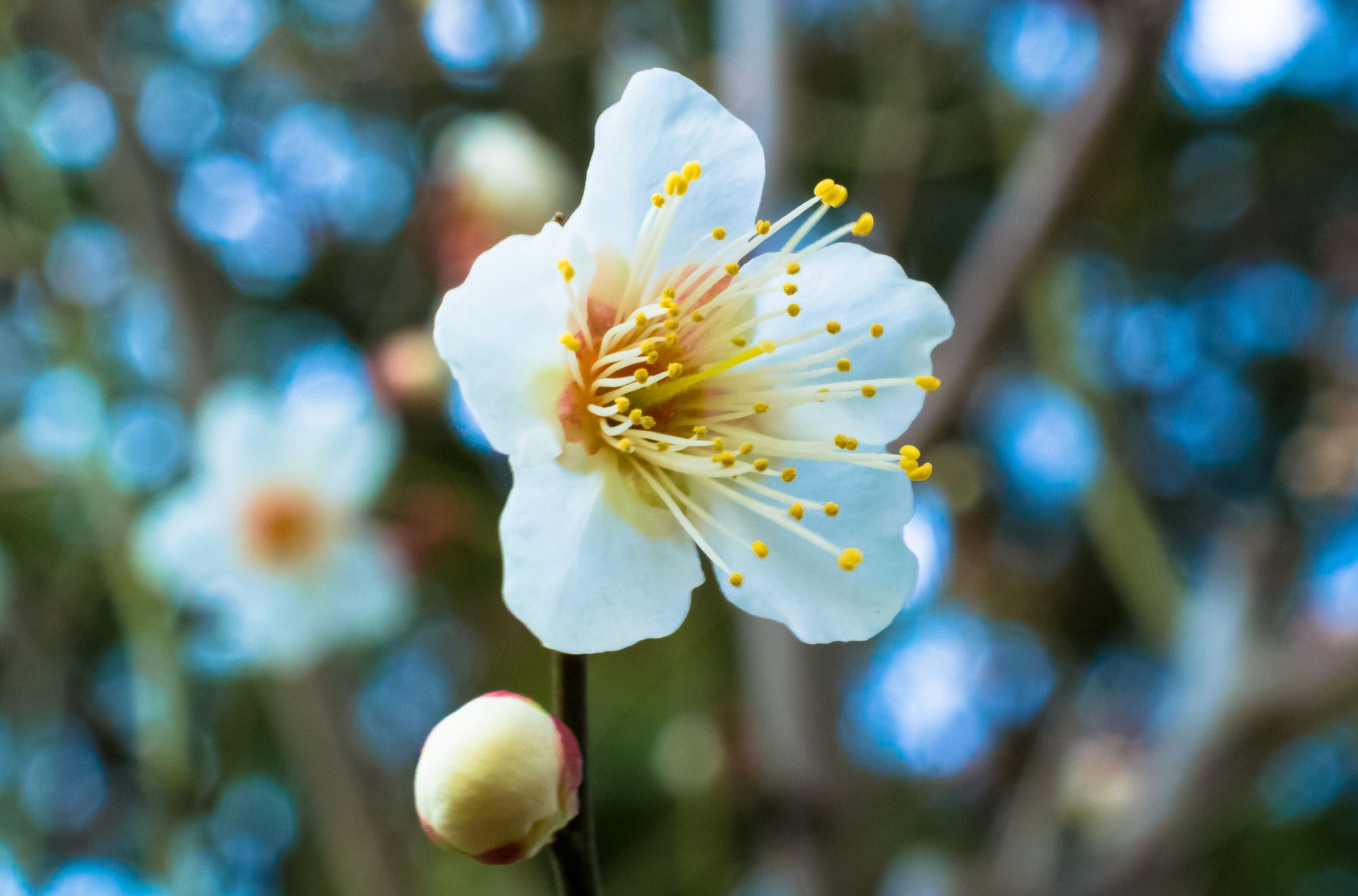 flower, petal, freshness, fragility, flower head, growth, pollen, beauty in nature, close-up, focus on foreground, white color, stamen, blooming, nature, single flower, in bloom, blossom, yellow, day, outdoors