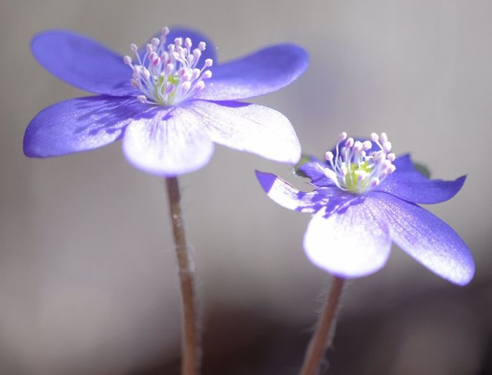 Leberblümchen Hepatica Flowering Plant Flower Plant Freshness Fragility Vulnerability  Petal Beauty In Nature Close-up Purple Inflorescence Flower Head Focus On Foreground Nature