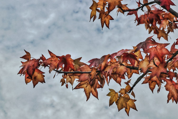 Folhas de Outono - Autumn leaves. Premium Selection Tree Maple Leaf Branch Leaf Autumn Mountain Change Hockey Maple Tree Wind Autumn Collection Leaf Vein Plant Life Leaves Calm Autumn Mood