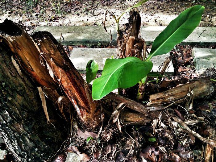 Tree Photography Tree_collection  Sapling Sapling Tree Leaf Tree Trunk Banana Tree Nature Tree Leaves Green Color