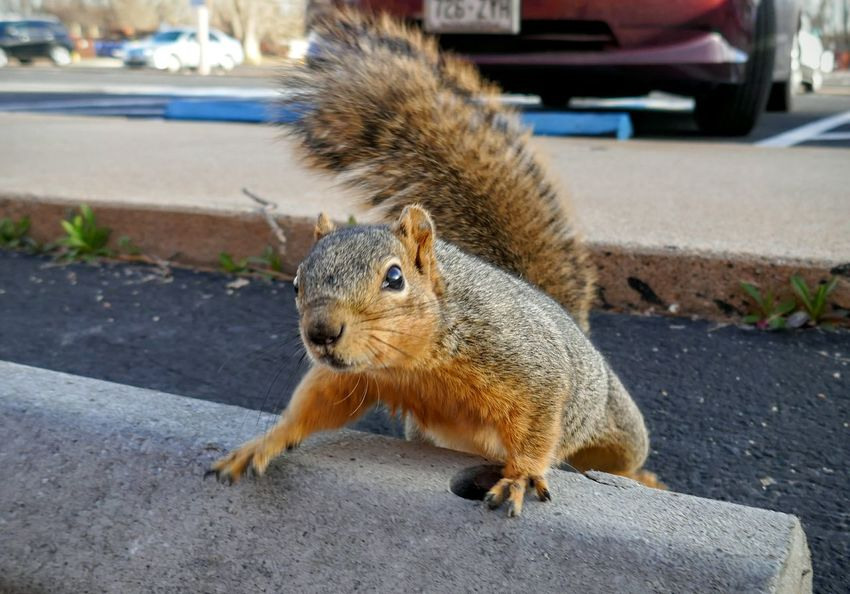 SQUIRREL!!! Check This Out Squirrel Wildlife Urban Wildlife Parking Lot Happy Posing For The Camera Rodent Cute Furry Friends Sqirrels Lumixlounge Lumix ZS100