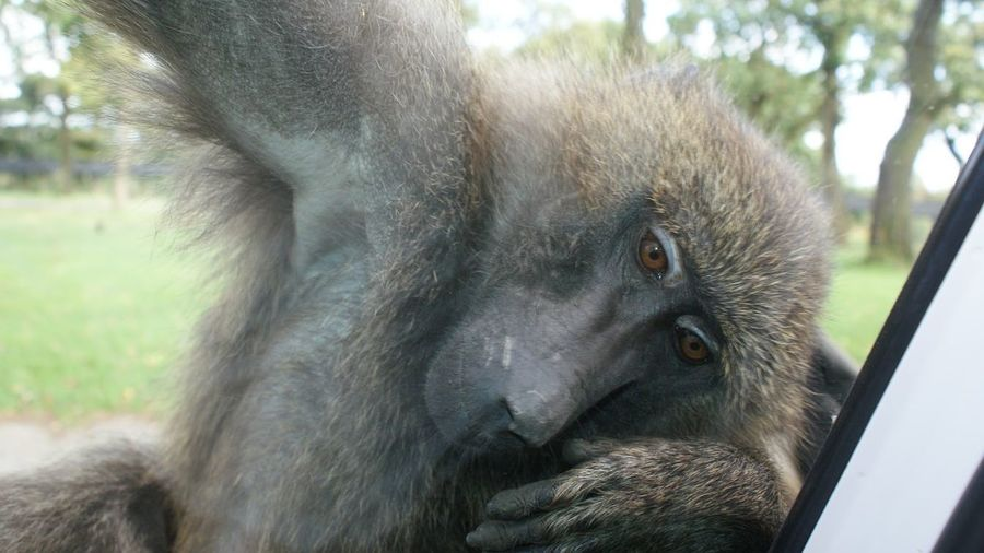 One Animal Animal Themes Animals In The Wild Wildlife Close-up Focus On Foreground Mammal Zoology Animal Head  Branch Day Outdoors Animal Hair Animal Nose No People Zoo Beauty In Nature Snout Baboon Portrait Monkey Cheeky Monkey Nosey Animal Fur