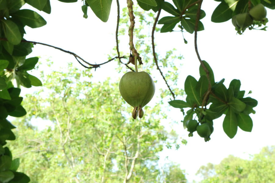 Beauty In Nature Branch Day Freshness Fruit Growth Leaf Nature No People Outdoors Plant Tree