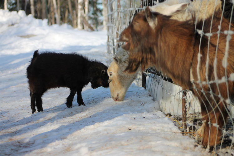 Goats during winter