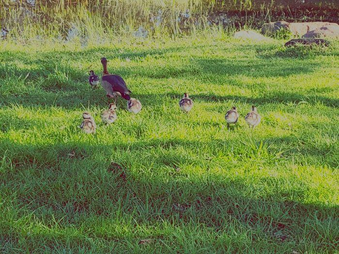 Ducks At The Lake Bird Water