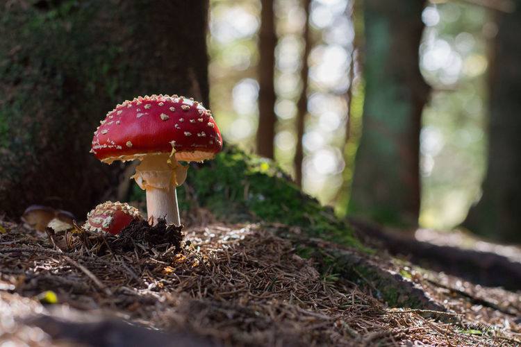 Close-up Fliegenpilz Focus On Foreground Forest Fungus Growing Herbst Mushroom Nature Pilz Uncultivated Wald