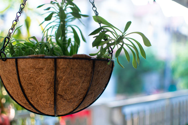 Close-up of dry leaves hanging on potted plant