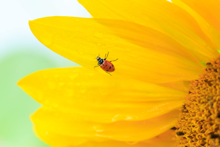 Ladybug in the rain Sunflowers Insect Yellow Close-up Nature Animal Themes No People Flower Beauty In Nature Animals Ladybugs Ladybugs Photography Ladybug Collection Bugs Bugs Life Beetles Color Colorful Nature Colorful Flowers Petals Fine Art Exceptional Photographs