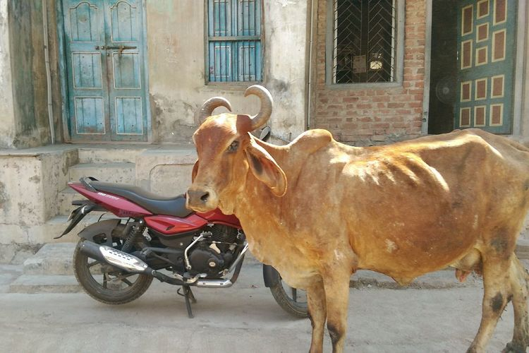 India Surat Cows On The Street Indian Cow Beautiful Animal Portrait.