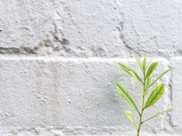 Stem with leaves in front of the white wall Background Beautiful Beauty In Nature Close-up Composition Ecology Flora Green Green Color Growing Growth Leaf Leaves Minimalism Nature Nature Details New Life Outdoors Plant Simple Stem Texture Wall Wall - Building Feature White