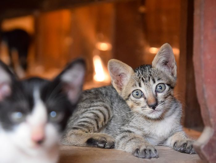 cute cat looking at the camera View Animal Lovely Cute Baby Kids Natural Copy Space Home Room Kitten Pets Portrait Togetherness Feline Looking At Camera Domestic Cat Cute Sitting Young Animal Cat Tabby Yellow Eyes Tabby Cat At Home Animal Eye Animal Face Whisker