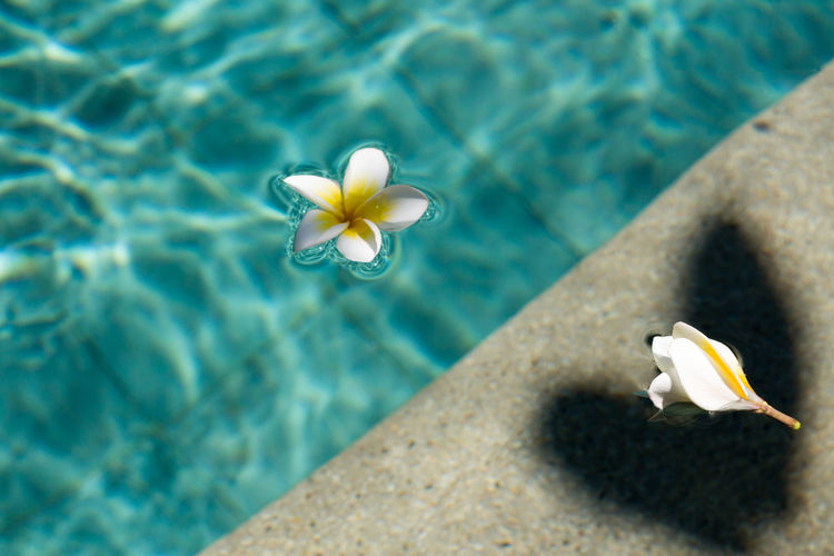 High angle view of frangipani floating in swimming pool
