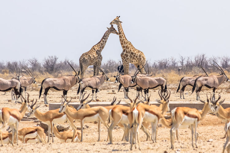 Animals standing on field against clear sky