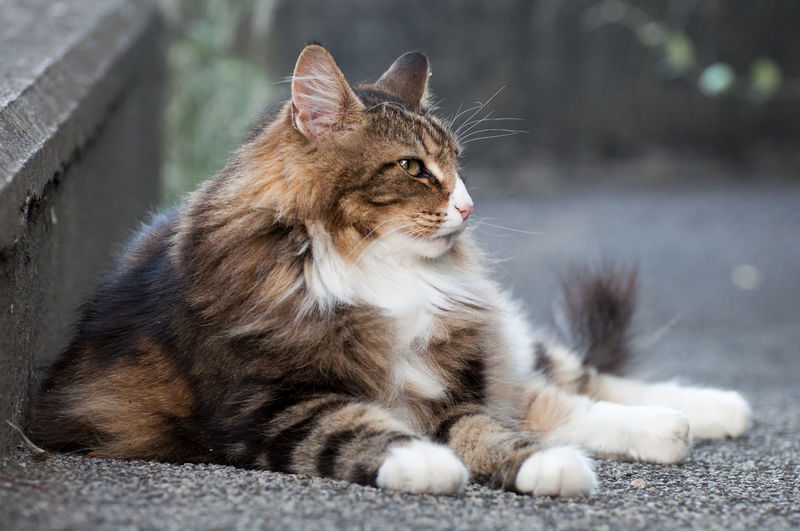 Norwegian forest cat laying on the floor