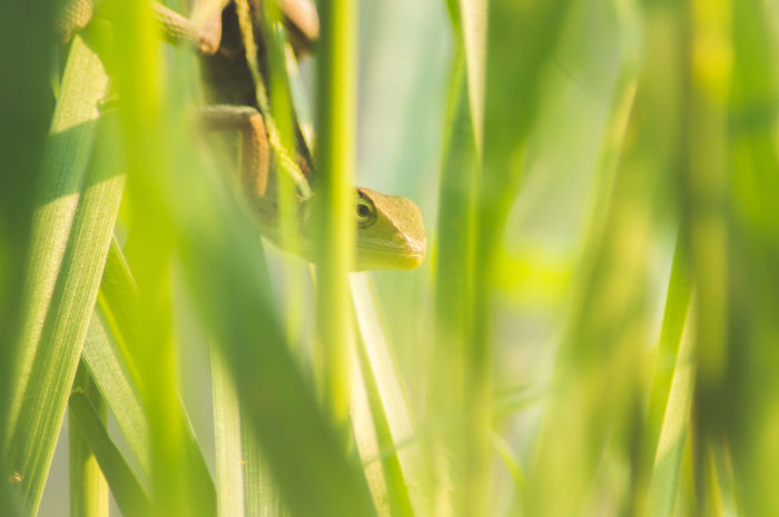 Lizard Agriculture Animal Beauty In Nature Blade Of Grass Close-up Day Field Grass Green Color Growth Leaf Leaves Macro Nature No People Outdoors Plant Plant Part Selective Focus Sunlight Tranquility Vulnerability