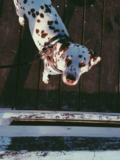 Dog Natur Eyes Dalmatian Watching Dog Vacation Dog Holidays Holiday Pets Corner