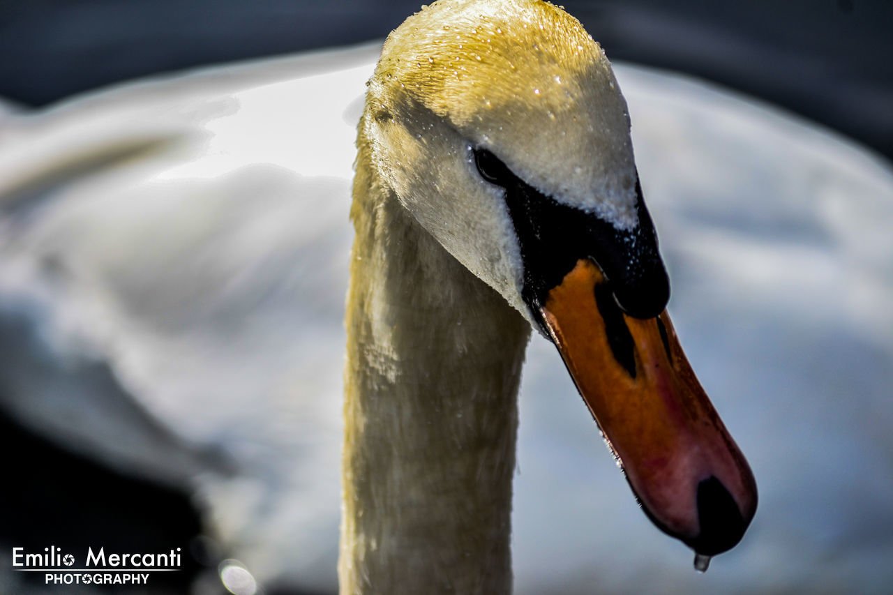 animals in the wild, bird, one animal, animal themes, animal wildlife, beak, focus on foreground, no people, day, close-up, nature, outdoors, water, swan