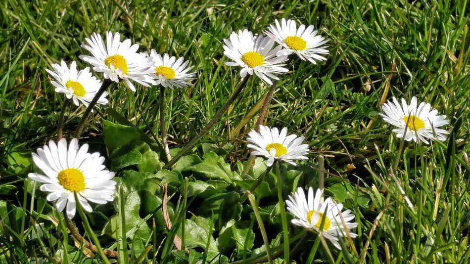 Barakaldo Euskalherria Flower Fragility Freshness Nature Flower Head Petal Daisy Beauty In Nature Growth White Color Blooming Pollen Plant Field Day No People Outdoors Close-up Cosmos Flower