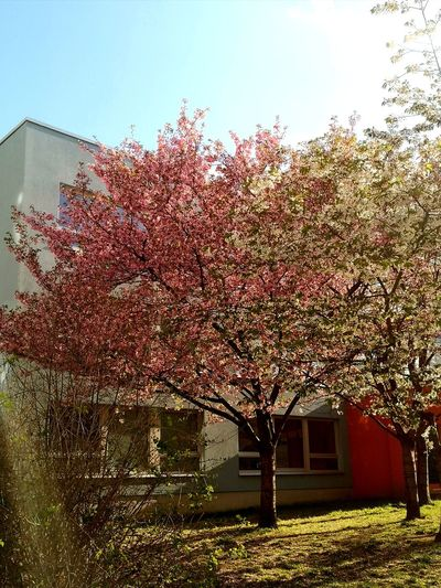 Pink cherry blossom tree by building against sky