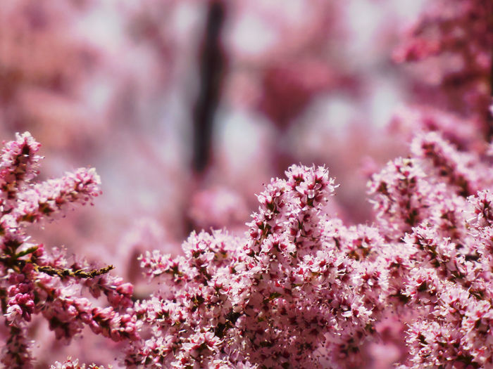 simple Beauty Spring Flowers Nature Is My Sanctuary 🌳💚 Surrounded By Nature For My Friends 😍😘🎁 Nature Is My Religion BokehLove Bokehlicious Bokeh Photography Eye4photography  Bokeh Photography Flower Head Tree Flower Defocused Springtime Pink Color Branch Blossom Close-up Sky