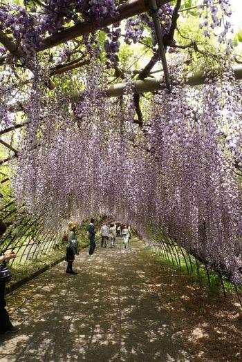 Wisteria Kawachi Fuji Garden 河内藤園
