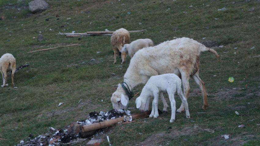 #wadaslintang reservoir #wadaslintang animal Animal Domestic Animals Group Of Animals Land Mammal No People Outdoors Sheep First Eyeem Photo