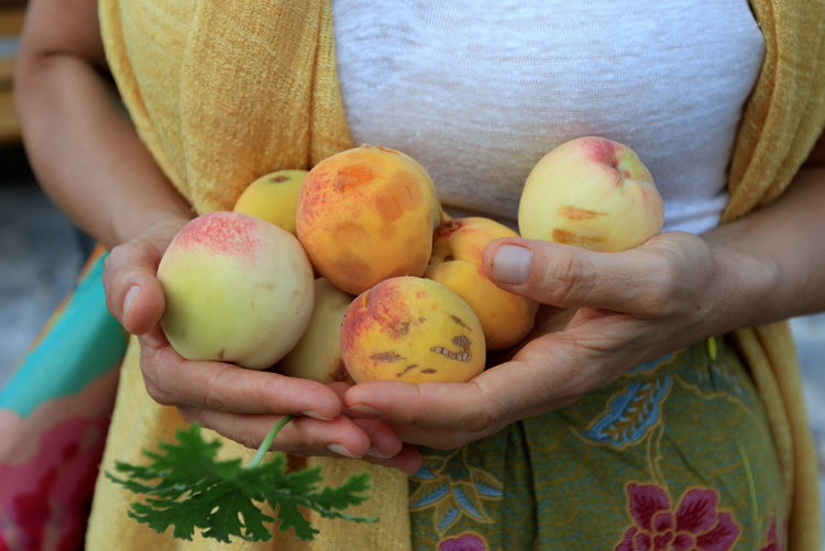 Woman holding fresh peaches in hand. Close-up Day Food Food And Drink Freshness Fruit Hands Cupped Healthy Eating Holding Human Body Part Human Hand Leisure Activity Lifestyles Midsection One Person Outdoors Peaches People Real People Women