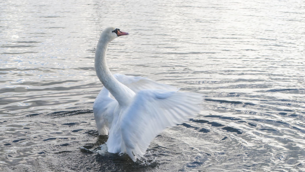 Swan. Bird White Color Animals In The Wild Animal Themes Water One Animal Day Lake Swan Nature No People Outdoors Southsea Portsmouth Hampshire  England Canoe Lake