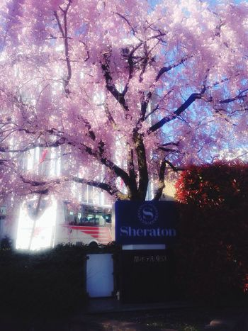 Morning cherry blossom ?☀️? ? Cherry Blossoms
