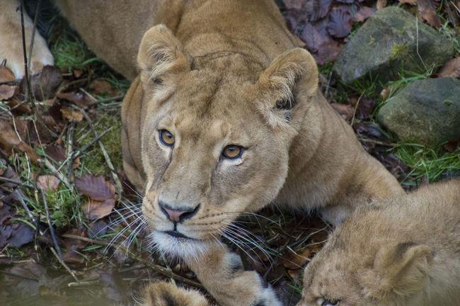 Denmark Lion Nature Ree Park Ree Ark Wintertime Animal Danmark Feeding Time Lioness No People
