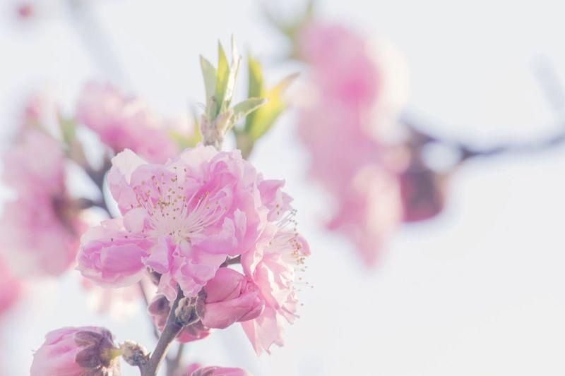 春よ来い 3月 EyeEmBestEdits Japan EyeEm Japan NIKON D5300 EyeEm Best Shots Eyemphotography 京都 桃の花