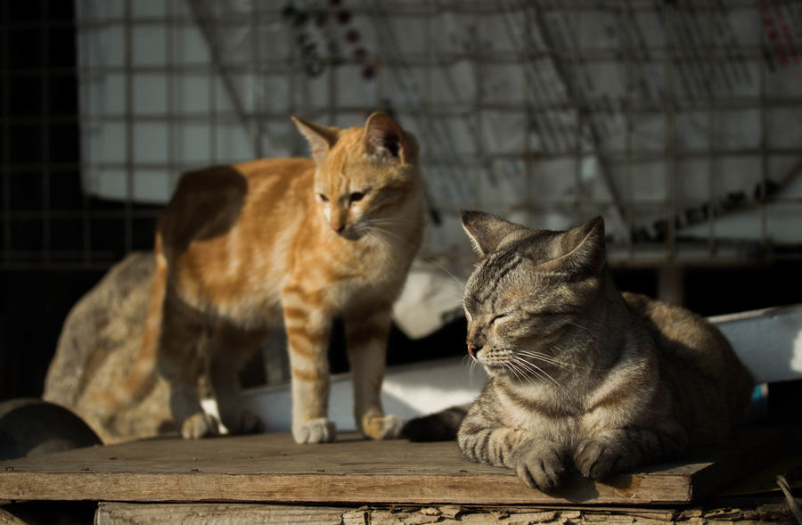 Animal Themes Close Eyes Comfortable Day Domestic Cat Enjoy Enjoying Life Feline Gray Gray Cat Mammal No People Orange Cat Pets Relaxation Sitting Squinting Standing Sunlight Sunny Tabby Cat Tabby Cats Tummy Two Two Cats